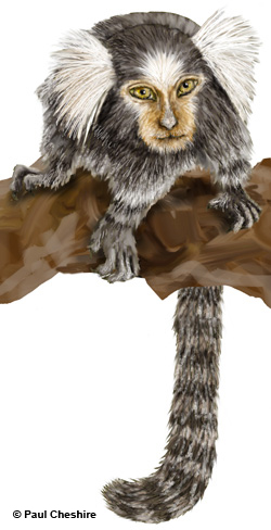 Illustration of a marmoset