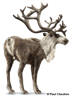 Illustration of a moose