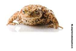 a toad