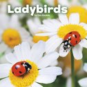 Little Creatures: Ladybirds