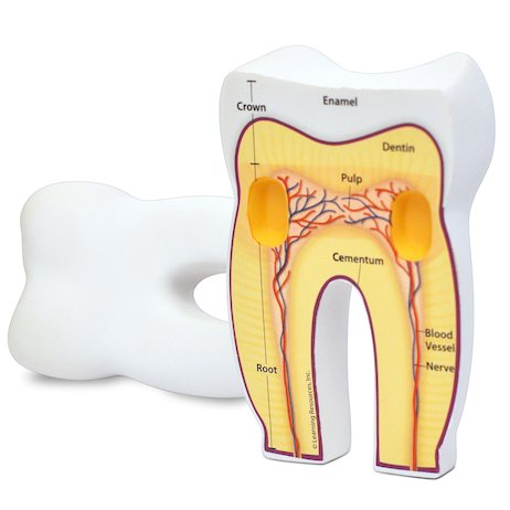 Cross Section Tooth Model