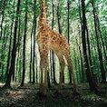 Giraffe © Matthias Clamer/www.gettyimages.com