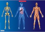 The human body - poster (1 page)