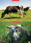 Cow and lambs