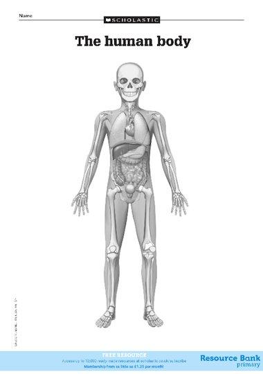 Diagram Of The Human Body  U2013 Free Primary Ks2 Teaching