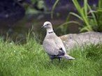 Collared dove call