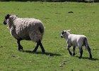 sheep-1306601_640.jpg
