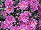 Crysanthamum - November's flower