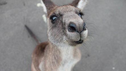 kangaroo extra.png